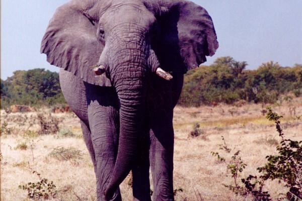 Elefante Chobe 1